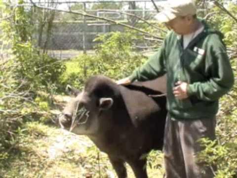 AAZK South American Tapir Chat