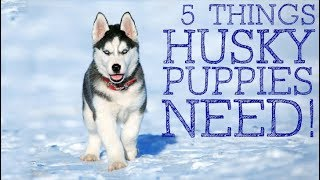 5 Things You MUST Have Before Owning A Husky Puppy
