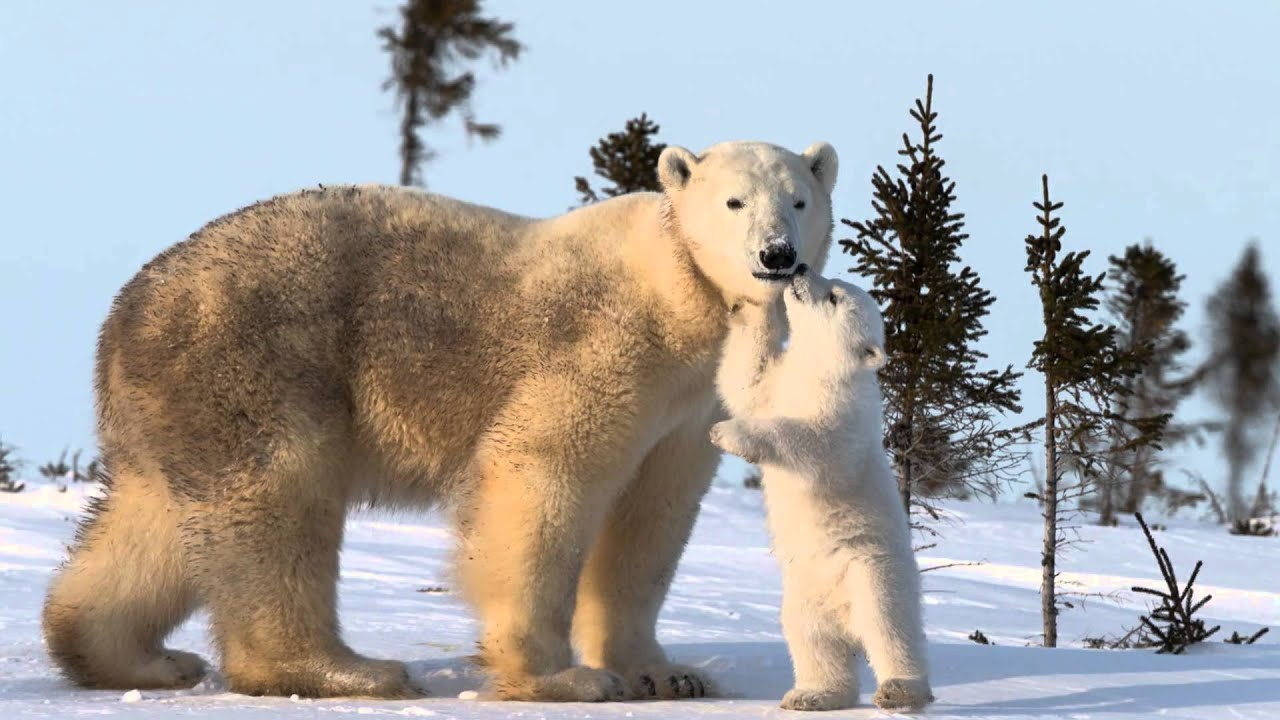 Polar bear cubs wallpaper