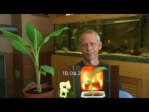 Die Banane vom Samen zur Pflanze wachsen lassen