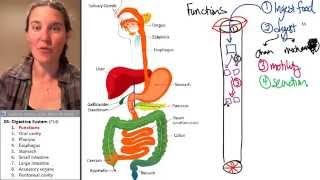 Digestive System 1- Function