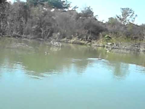 cocodrilo en rio purificacion