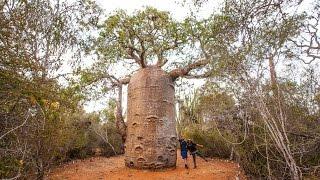 CE BAOBAB A 1400 ANS (Tulear - Madagascar)