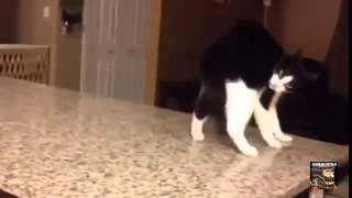 Vodka İçen kedi