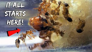 STARTING A NEW FIRE ANT COLONY | REBIRTH OF THE FIRE ANTS