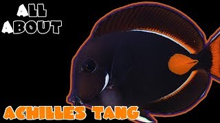 All About The Achilles Tang or Surgeonfish