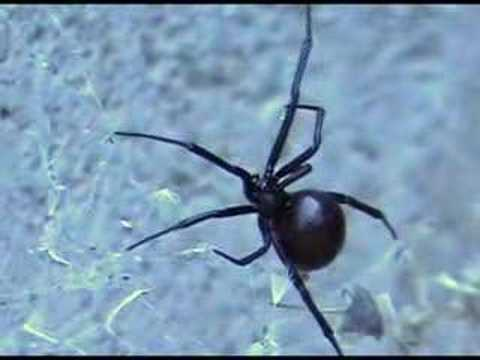 Black Widow Spider Close up Video