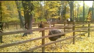 Отлов страусов