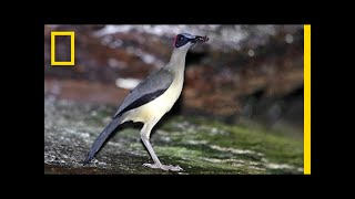 Beautiful and Elusive: This Bird Is Losing Its Home | National Geographic