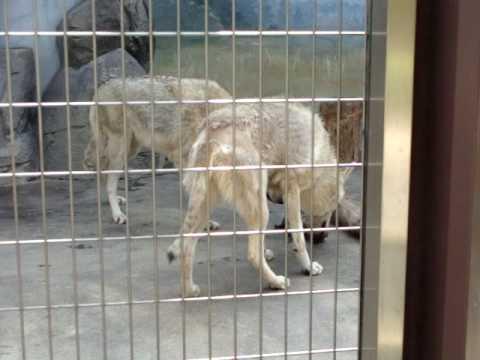 天王寺動物園 チュウゴクオオカミの子育てヘルパー修行