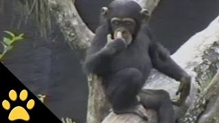 Baby Chimpanzee Gets A Smelly Surprise