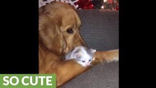 Golden Retriever absolutely loves newborn kitten addition