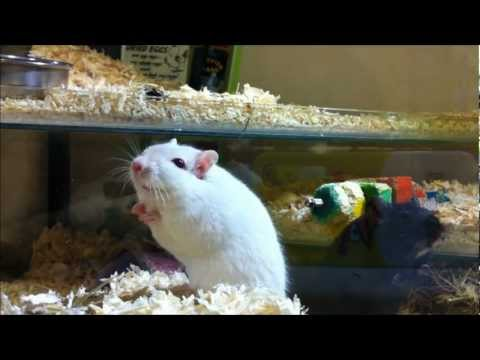 Gerbil Care - Picking Up Your Gerbils And Holding