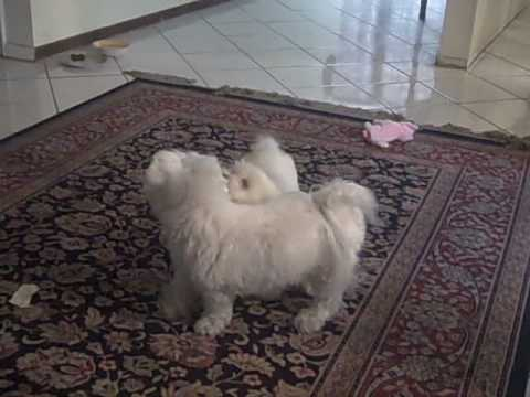 Maltese Dog playing with ShihPoo Puppy (Shihtzu Poodle Mix)