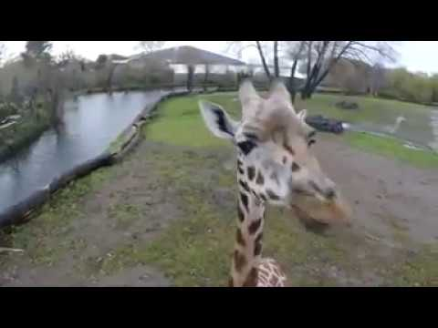 Giraffes added to vulnerable list || Animal World
