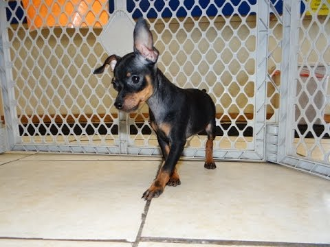 Miniature Pinscher Dog Puppy Miniature Pinscher Puppies
