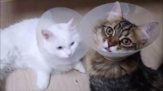 중성화수술후 서로를 위로해주는 그루밍 모습이 귀여우면서 안스럽네요