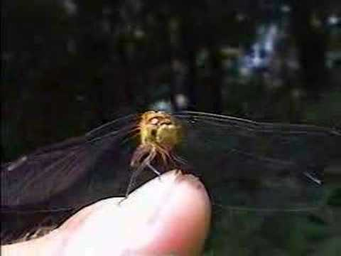 Dragonflies as Pets Video