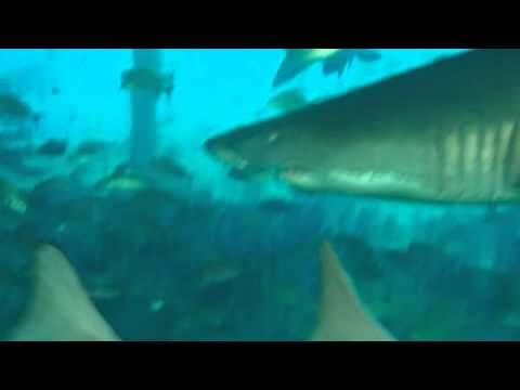 Tiger Sharks on our Olympus Dive Trip 7/26 & 7/27/14 part 14
