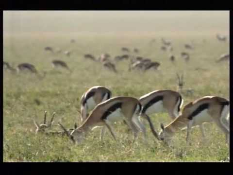 110km/h Cheetah attack gazelle Video