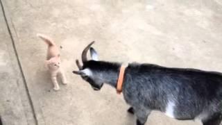 Gato vs Cabra