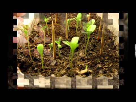 Посев цикламена в домашних условиях