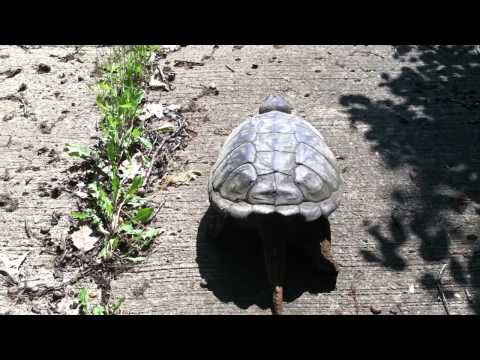 Snapping Turtle lays eggs then walks into Merrimack River