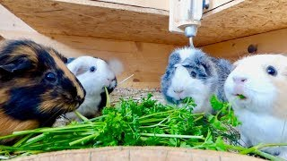 Guinea Pigs Eating Parsley | Guinea Pig Chewing ASMR