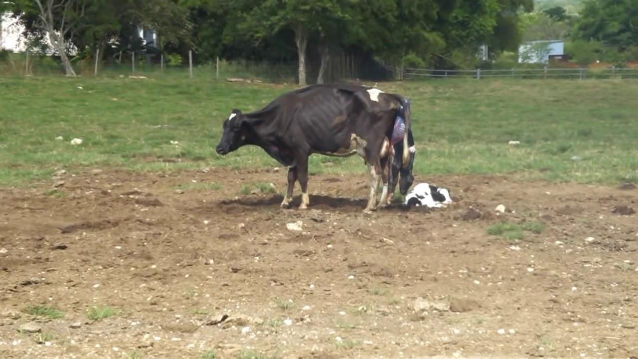 gestacion vaca: