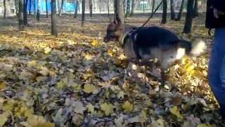 Owczarek niemiecki zabawa w liściach, pozytywne szkolenie psów Warszawa
