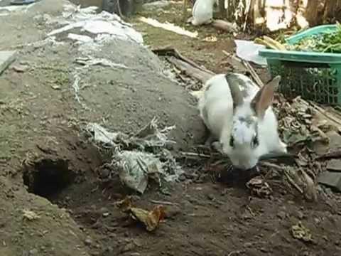 Kelinci akan melahirkan