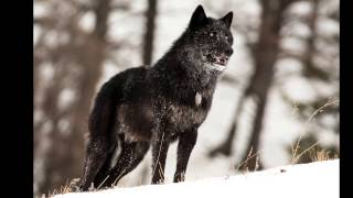 The alarm barking of an alpha male wolf in Yellowstone