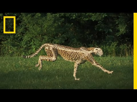 The Science of a Cheetah's Speed