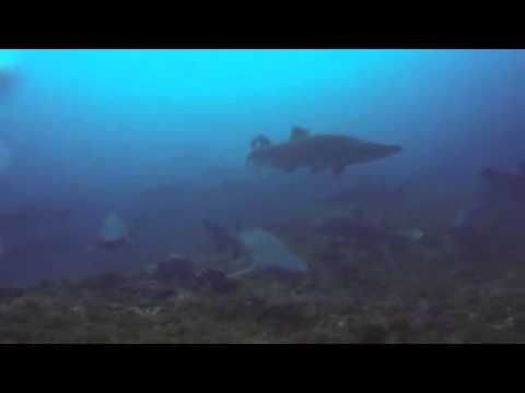 Scuba Dive Asia South Africa Protea Banks African Dive Adventure 200 Raggie Sharks