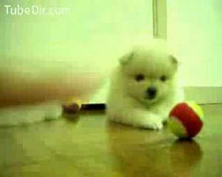 Cute puppy plays with ball