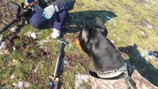 Geiger counter and Doberman trying to find gold