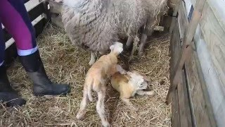 Newborn baby lamb in Whitehouse farm 25.03.2016