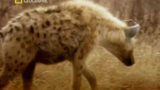 Animal Sex : Hyena