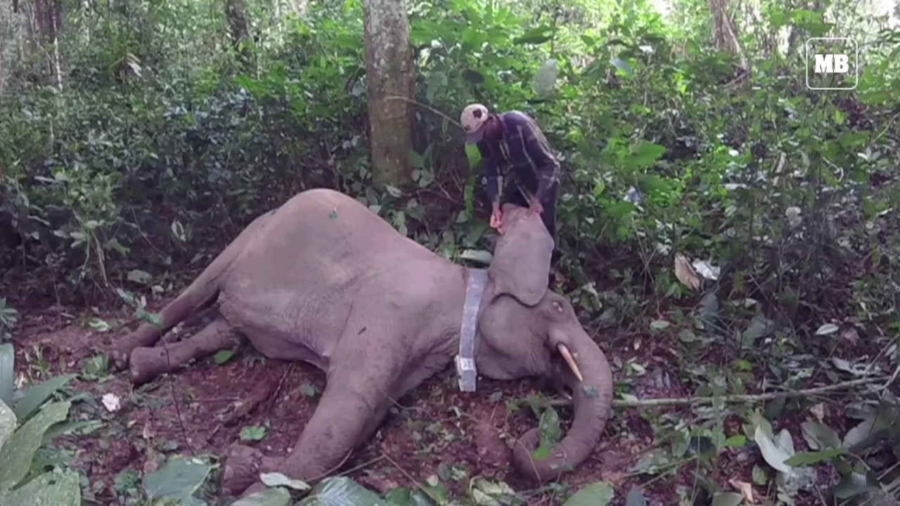 Gabon fights elephant poachers with hi-tech GPS collars