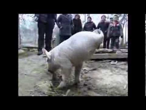 Baby Pig Born Without Hind Legs Learns To Walk