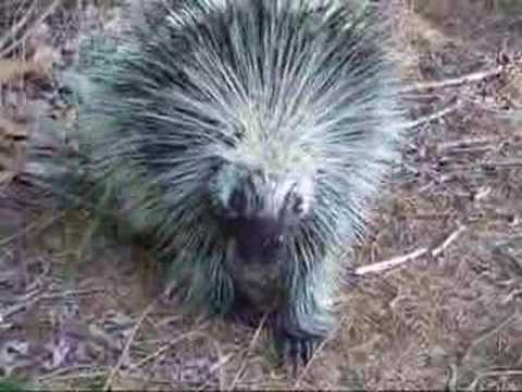 Argument with a Porcupine Video