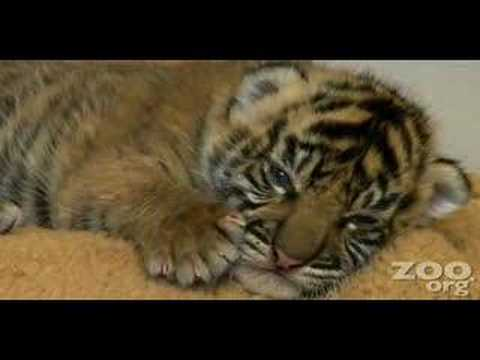 Cute baby tiger Video