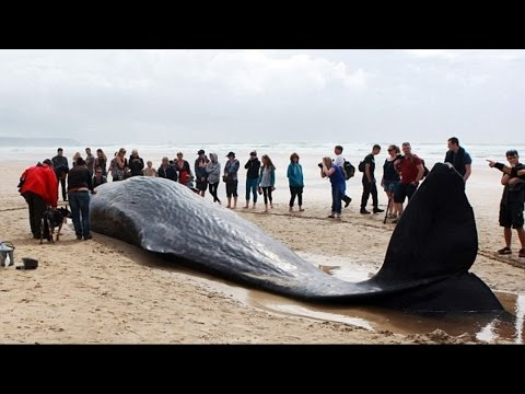 Female sperm whale dies after becoming the Seventh giant creature to wash up on British shores