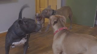 "Puppy Plays with 2 rescue Pit Bulls labeled ""aggressive"""