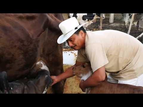 Vacas ya Parieron Crías Holstein con brahman--El Salvador en el campo