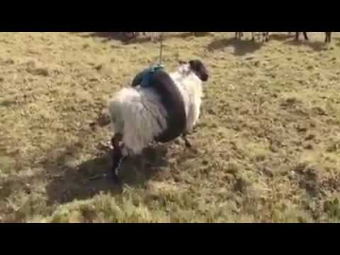 Funny animals - Ferris wheel with funny sheep