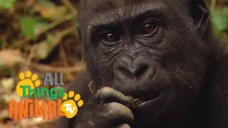 GORILLA: Animals for children. Kids videos. Kindergarten | Preschool learning