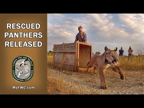 FWC Releases Rescued Florida Panther Siblings