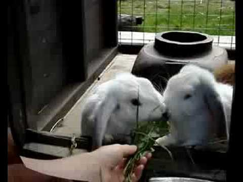 Young Dwarf Lop Rabbits Eating Grass &amp; Doc Leaves