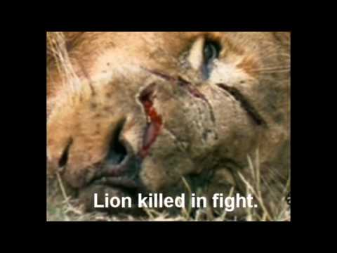 Lion vs Tiger: The Supreme Boxer Series -The Truth Part 1